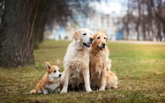 nav-about-us-multi-dog-233×145