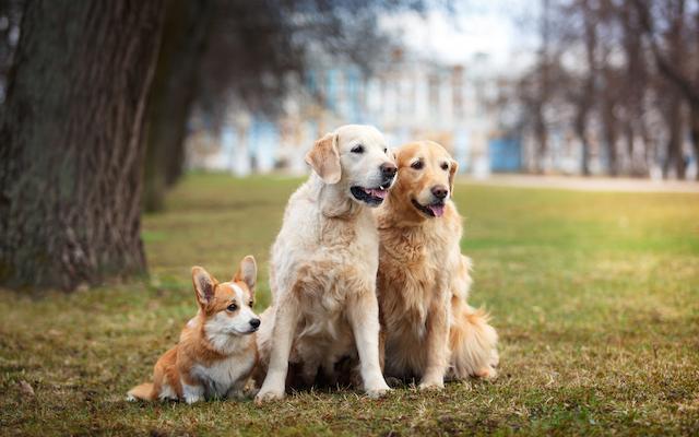three orange dogs